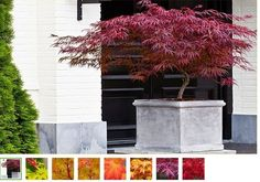 4 Japanese Maple Acer Trees Plants Pots Containers Garden Outdoor Decoration