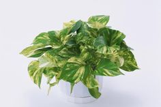 These Pothos Plant Benefits are science-backed and confirmed in various studies. And, don't forget, it's a low care houseplant that can grow without sunlight! Colorado Springs, Golden Pothos Plant, House Plants For Sale, Household Plants, Best Indoor Plants, Spider Plants, Plant Sale, Garden Spaces, Looks Cool