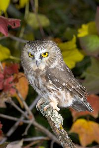 """""""Aegis"""" - a Northern Saw-whet Owl who resides in the woods around Gypsy's home. Northern Saw-whets are about 7-8"""" long and weigh around 3 ounces, but they are fierce little hunters of mice."""