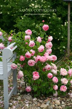 Shade Garden Flowers And Decor Ideas 100 Pcs Climbing Rose Seeds, Rare Climbing Plant Rose Seeds, Diy Home and Garden, Bonsai Garden Flowers. Rose Garden Design, Pink Garden, Shade Garden, Beautiful Roses, Beautiful Gardens, David Austin Roses, Bonsai Garden, Climbing Roses, Pretty Flowers