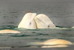 A buff beluga whale has been photographed flexing his extraordinary abdominal muscles at the Somerset Island, Canada. Underwater Creatures, Ocean Creatures, Somerset, Rare Animals, Strange Animals, Cute Whales, Pet Rats, Killer Whales, Whales