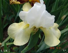 Ice 'n' Lime   Historic Iris Preservation Society
