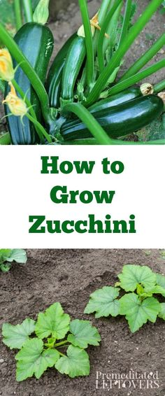 How to Grow Zucchini - Tips for growing zucchini including how to start zucchini seeds, how to transplant zucchini seedlings, & how to care for zucchini.