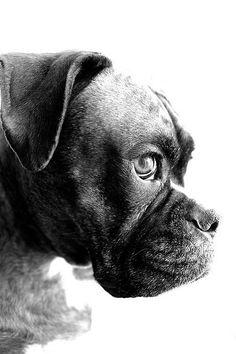 Black and white boxer photo