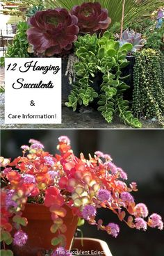 Learn all about 12 sensational hanging succulents including hanging cactus(!) that you can grow! Specific are information included for each variety! You can locate and grow each trailing succulent - easily! Hanging Succulents, Growing Succulents, Succulents Garden, Rat Tail Cactus, Ghost Plant, Epiphyte, Succulent Soil, Garden Spaces, Green Leaves