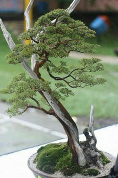 Dead wood bonsai