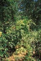 En las zonas perturbadas del bosque prosperan inicialmente plantas pioneras que crecen rápidamente y colonizan grandes espacios.