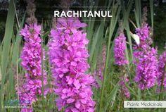 Rachitanul este antibacterian, antihemoragic, astringent, diuretic si tonifiant. http://www.i-medic.ro/plante/rachitan