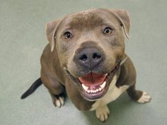TO BE DESTROYED 05/08/14 Manhattan Center   JEDI - A0998194   MALE, BROWN / WHITE, PIT BULL MIX, 1 yr, 7 mos STRAY - STRAY WAIT, NO HOLD Reason STRAY  Intake condition NONE Intake Date 04/29/2014, From NY 11435, DueOut Date 05/02/2014, https://www.facebook.com/photo.php?fbid=795871397092408&set=a.617938651552351.1073741868.152876678058553&type=3&theater