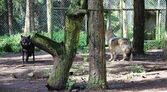 Onze loups vivent une retraite paisible, au sein du Refuge de Coat-Fur à Lescouët-Gouarec. Un endroit où il est possible de les observer, en toute tranquillité.