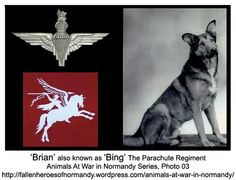 Known as 'Brian' in civilian life, 'Bing' was his name while he served with the The Parachute Regiment. He was an Alsation, German Shepherd dog who served with the 13th Parachute Battalion, 6th Airborne Division and landed on D-Day near Ranville, Normandy, France. While in Normandy 'Bing' was wounded in the neck and eyes. After the war he was awarded the PDSA Dickin Medal (No. 48) for Gallantry.