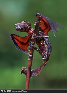 The satanic leaf tailed gecko with flying fox wings