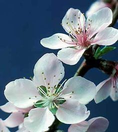 Peach Blossom Tree Delaware state flower