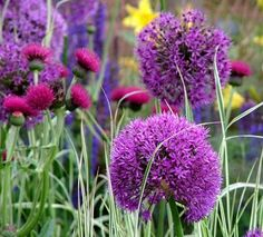 Alliums - the color lasts a long time, and even when the purples do fade, the sphere is still attractive!