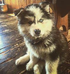 @myla.canadianmalamute on instagram the Canadian Eskimo Dog / Alaskan Malamute Doggies, Dogs And Puppies, Canadian Eskimo, Moving To Alaska, Myla, Alaskan Malamute, Husky, Best Friends, Cute Animals