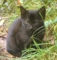 Perle   Type : Chat domestique poil court Sexe : Femelle Age : Bébé Couleur : Noir  Taille : Moyen Lieu : Ariège - 09 (Midi-Pyrénées)  Refuge :  APPAC 09 (Ariège)  SAINT-GIRONS Tél : 06 73 14 85 78 / 06 07 41 07 68 / 06 74 95 02 92 / 05 61 96 30 04            cette petite perle noire chaton femelle de 3 mois et demi ; sa maman chat l'a bien éduquée, elle est sociable, très dynamique, joueuse et chasseuse