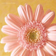 Pale Pink Gerber Daisy - God is such an awesome designer...color, symmetry, beauty...