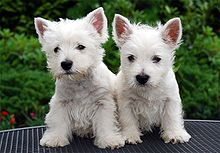 The West Highland White Terrier, commonly known as the Westie, is a Scottish breed of dog with a distinctive white coat.