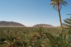 Algeria Béchar فڭيڭ    Palm trees Figuig