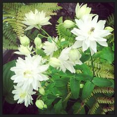 Double columbine in the shade garden | Feather Me This
