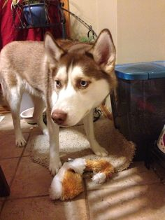 Husky ... my fox.don't even think about it