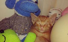 gaya tidurnya dia.temen tidur, obat anti galau plus alarm. jm 2 pagi pasti bangunin.. #kimikimi #kucingkuning
