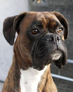 portrait of my three year old boxer bitch calla in my garden. calla the welsh boxer Dogs And Kids, I Love Dogs, Cute Dogs, Boxer And Baby, Boxer Love, Boxer Puppies, Dogs And Puppies, Doggies, Brindle Boxer Dogs