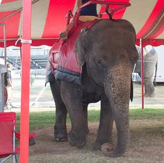 No more sick Elephants in Circus! uberculosis is fast-approaching an epidemic rate of infection among captive elephants in the US. This zoonotic, potentially fatal disease can spread through the air, placing anyone near an infected animal—elephant and human alike—at risk of transmission. #BoycottTheCircus