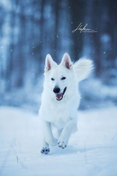Weisser schweizer Schäferhund springt in Winterlandschaft auf die Kamera zu | Berger Blanc Suisse | Shepher | white | snow | Schnee | Hund | Bilder | Foto | Fotografie | Fotoshooting | Hundefoto | Hundefotografie | Hundefotograf | Hundefotos | Dog | Ideen | Inspiration | Photography | Photo | Pictures