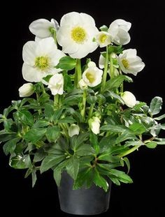 Hellebore Joseph Lemper - deer resistant (except from curious fawns developing their taste preferences, sigh)
