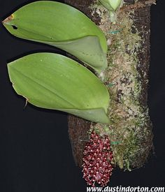 Bulbophyllum Beccarii | Bulbophyllum beccarii
