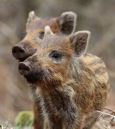 Wild Boar (Sus scrofa), Forest of Dean (Gloucestershire)