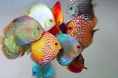 graceandcompany:  ♥LIKE: It's a rainbow of discus …. and it's breathtaking.