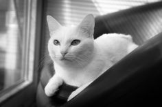 Beautiful in white, with a little black thrown in for good measure #cats #white cats