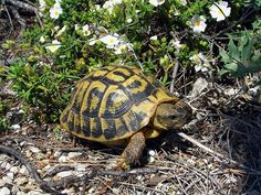 There are numerous types of tortoise, including the Red Footed Tortoise, the African Spurred Tortoise, and the species picked most commonly as pets, Red Footed Tortoise, Tortoise As Pets, Sulcata Tortoise, Tortoise Care, Giant Tortoise, Tortoise Turtle, Tortoise Food, Hermann Tortoise, Reptile Zoo