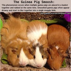 The guinea pig smoosh -- makes me miss having guinea pigs! Having two at once is so fun. =)