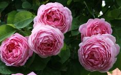 Old English rose, 'Constance Spry'