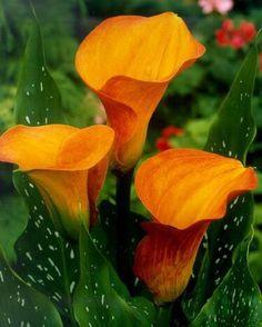 Voracious Simplicity. Yellow Calla Lilies.
