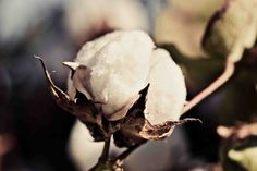 Cotton Photography - Cotton Boll Print - Cotton - Fine Art Photography - The South - Rustic Industrial Home Decor - Farmhouse Kitchen by StephanieSchamban on Etsy