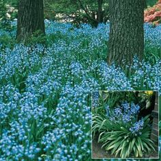 Fill out your garden with English Bluebells, hardy violet-blue perennials whose clustered, bell-shaped blooms will grow almost anywhere. Blue Bell Flowers, Bulb Flowers, Spring Flowering Bulbs, Spring Bulbs, Shade Garden, Garden Plants, Hosta Plants, Flowers Garden, Summer Flowers