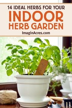 You can purchase a pot of live herbs for around the same cost as a bundle of cut herbs at the grocery store. The potted herbs will provide numerous fresh harvests for meals. Start an indoor herb garden and discover 14 culinary herbs to grow indoors. Gardening For Beginners, Gardening Tips, Growing Herbs Indoors, Growing Vegetables, Fresco, Hanging Herbs, Hanging Baskets, Hanging Planters, Herb Pots