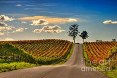 Road to Happiness  (photography)  Mars Lasar    Country road drifting through the late fall vineyards in Napa Valley, CA