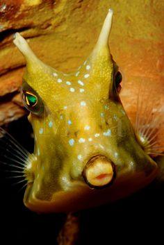 longhorn cowfish lactoria cornuta are found in the tropical pacific papua new guinea