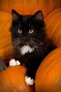 Black and white cat on Orange pumpkins