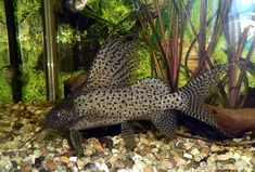 Synodontis Catfish – African Companion Fish for Your Cichlid Aquarium -  - not my photo, but we have one like this