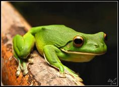 frogs - Bing images