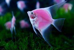 Pink Angelfish