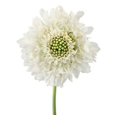 Sure to give a garden feel to any wedding bouquet, table centerpiece, or flower arrangement, these White Scabiosa are the prefect addition! More commonly known as Pincushion flowers, these white blooms are perfect as a focal or a filler. Shop with us today and get free shipping!
