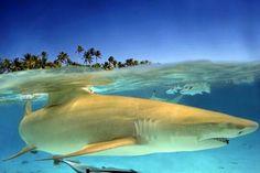 Shark, tiburon, requin