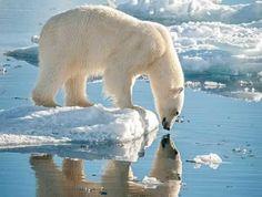 """""""El oso polar es la especie más carnívora de todos los osos."""" pic.twitter.com/pcCZDnXsBt"""